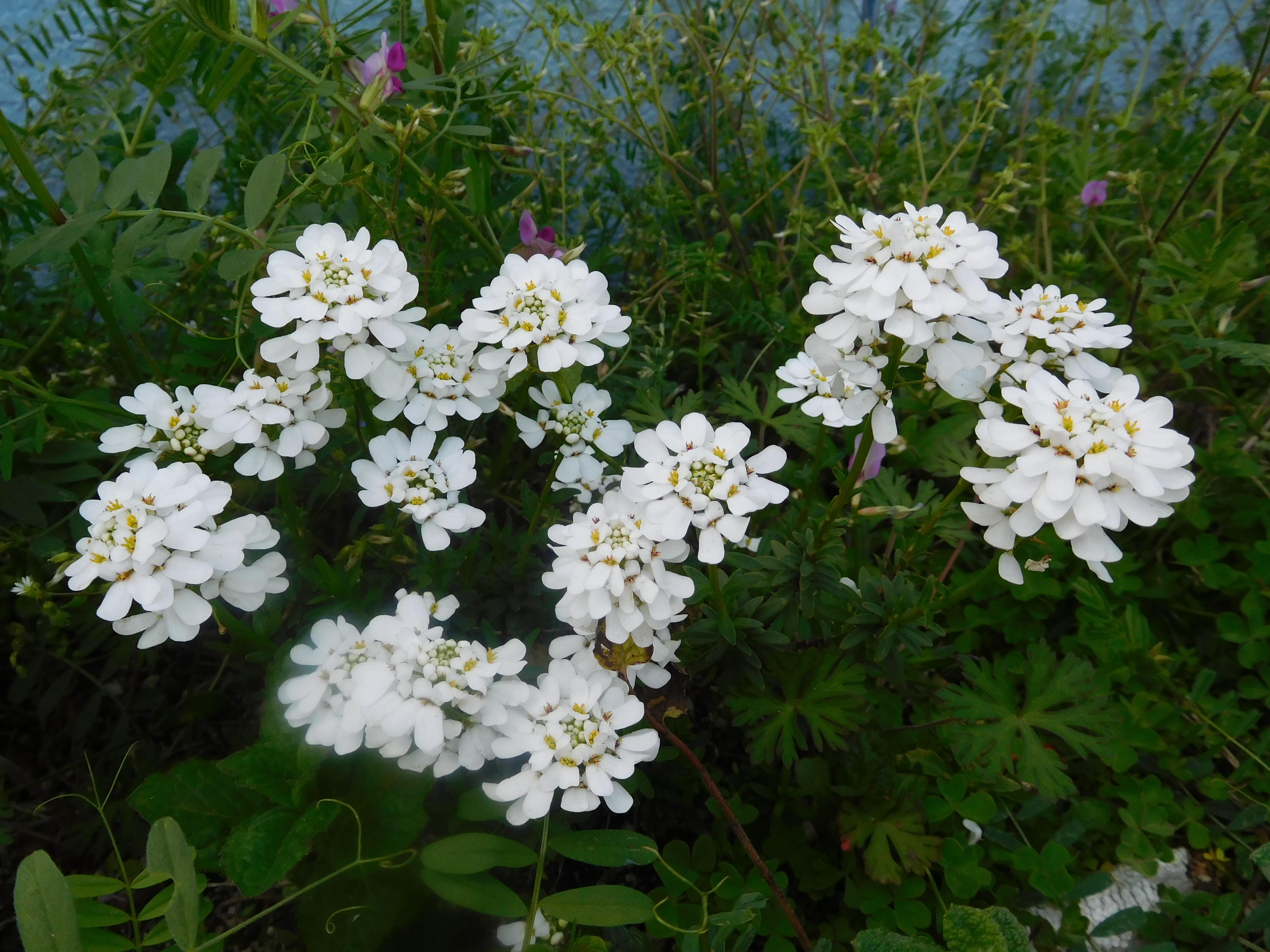 白いお花の写真です。