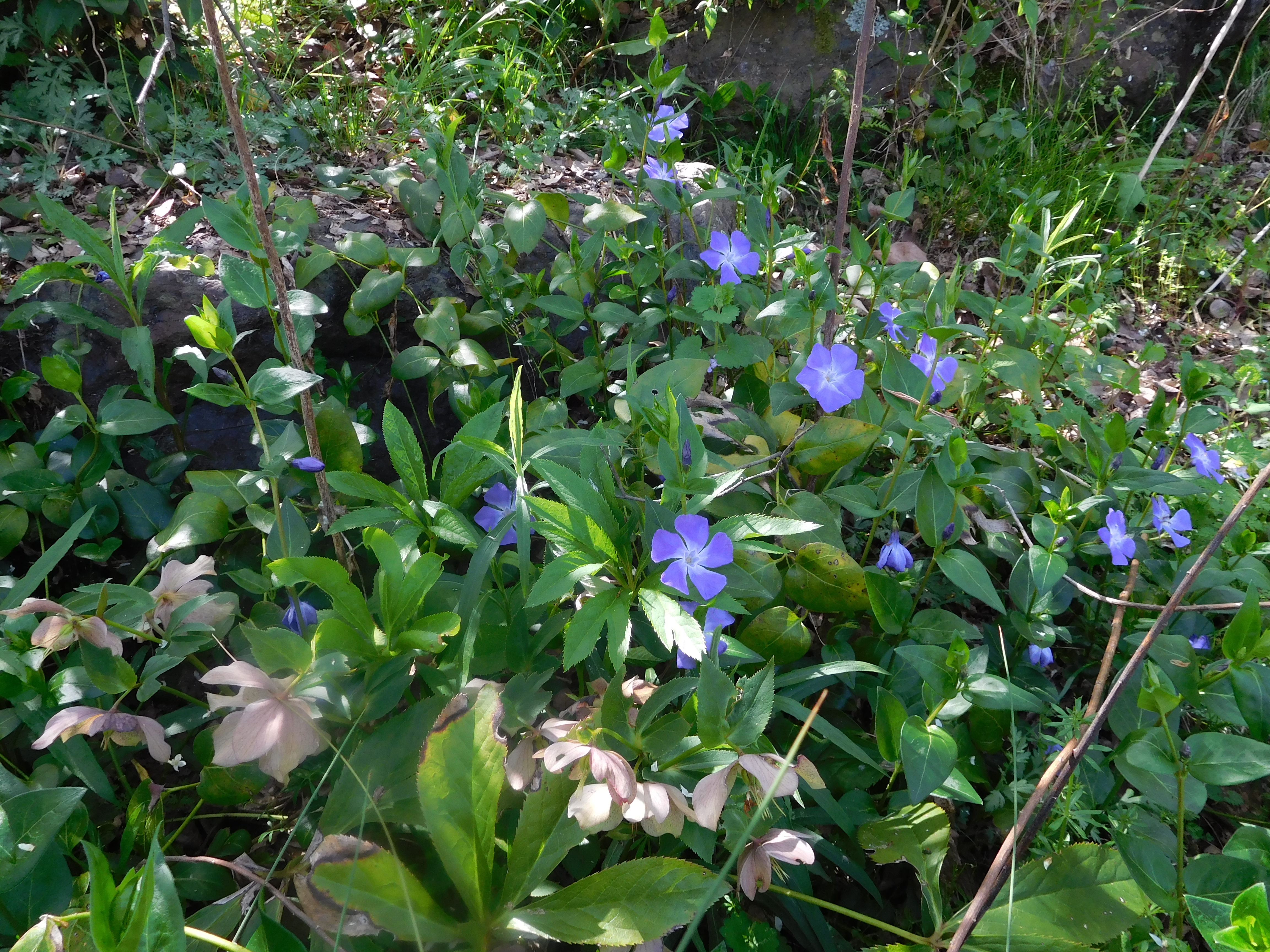 ツルニチニチソウのお花の写真です。