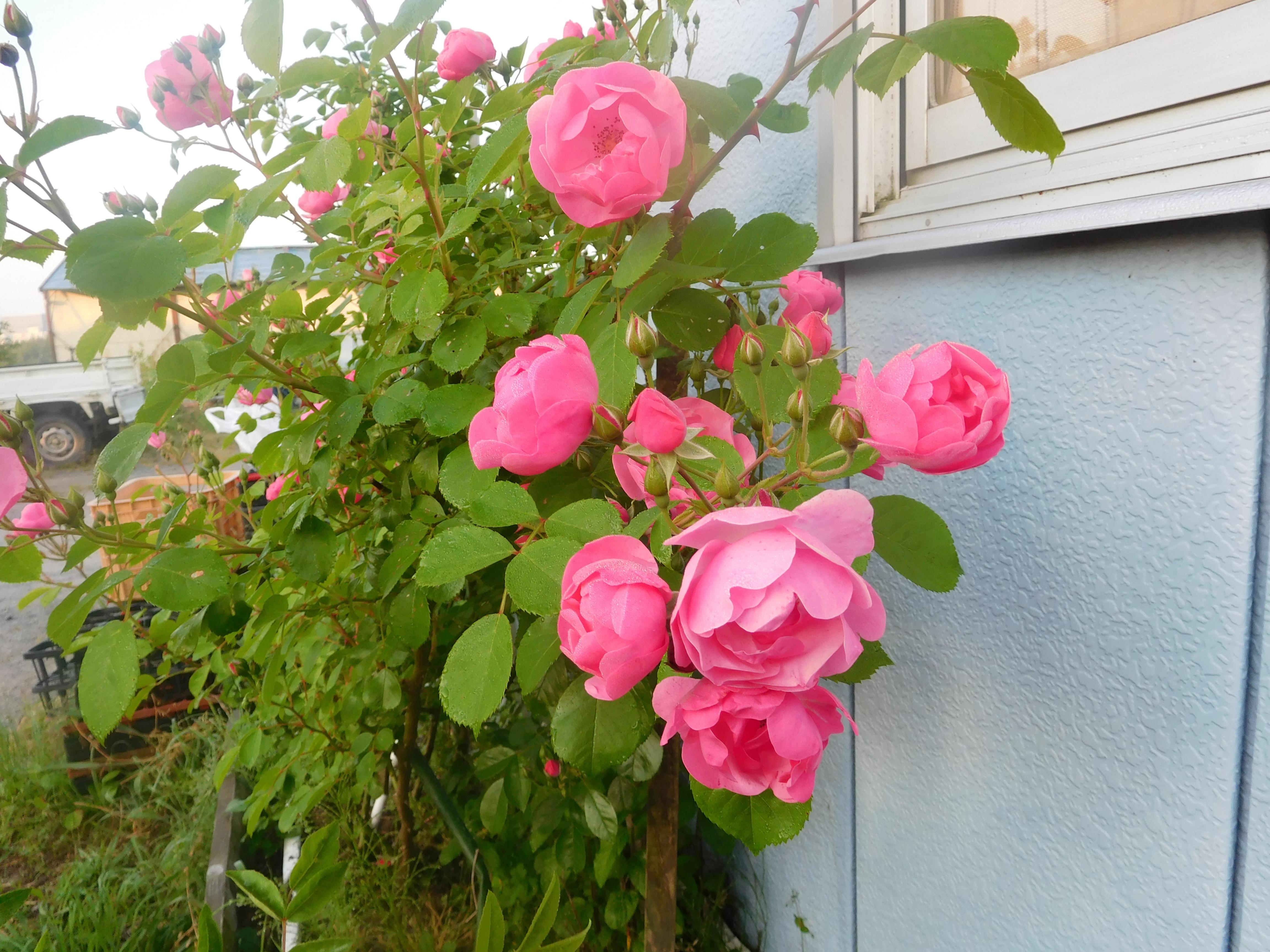 伊賀教室近くで育てているオーガニックの薔薇
